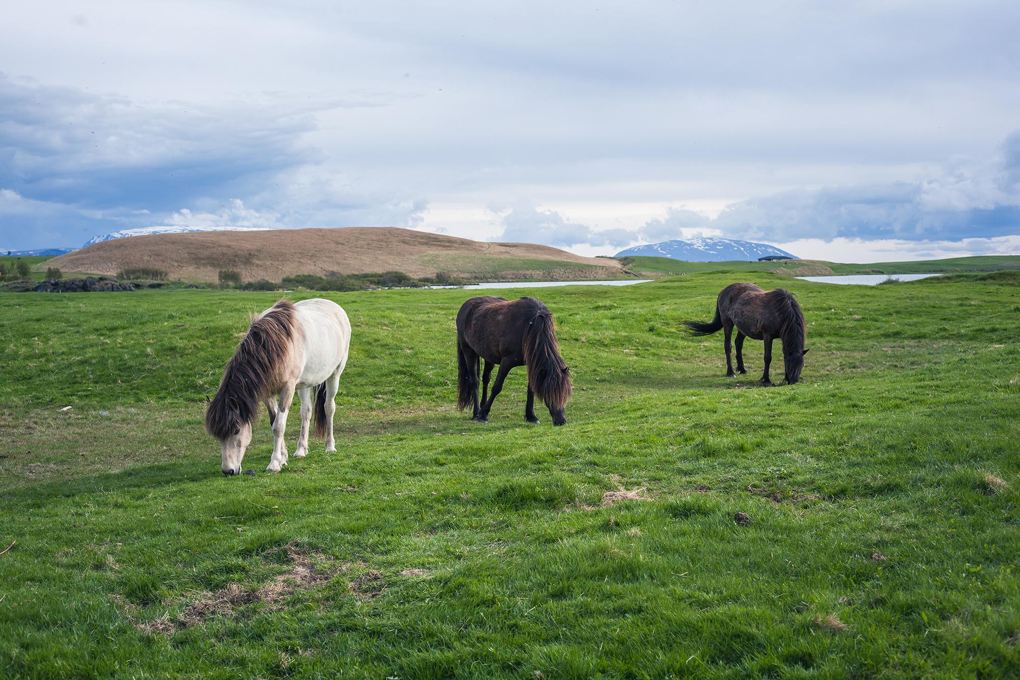 Icelandic Horses | Chic Lightroom Presets